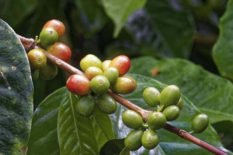 13 Health Benefits of Coffee